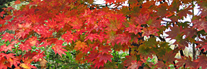 2017 October red coloured maple